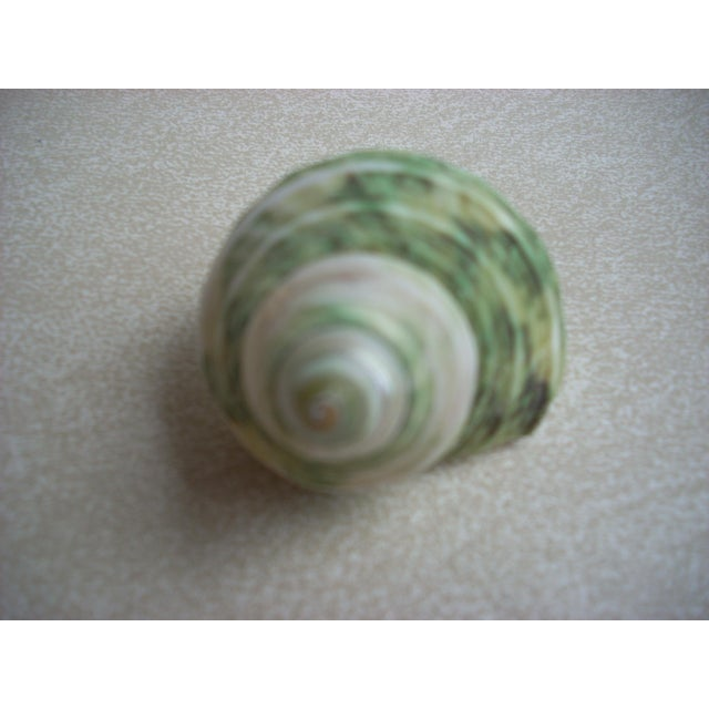 Natural Turban Seashells- Set of 15 - Image 3 of 5