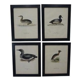 1929 Vintage Swedish Waterfowl Prints - Set of 4