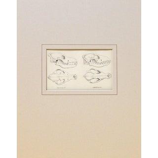 Antique Cape Hyrax Skull Print