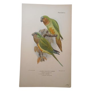 Antique Parakeet Lithograph