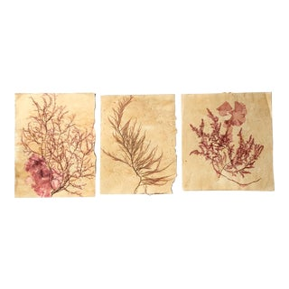 Blackwell Botanicals Red Pressed Seaweed, Set of 3