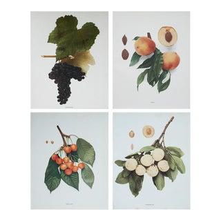 Antique Fruits Photogravures - Set of 4