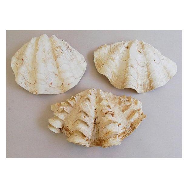 Natural Saltwater Clamshells - Set of 3 - Image 4 of 8