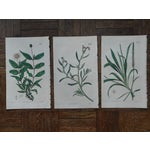 Image of Antique Botanical Engravings - 3