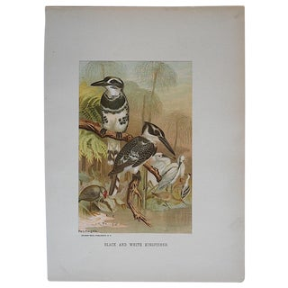 Antique Kingfisher Lithograph