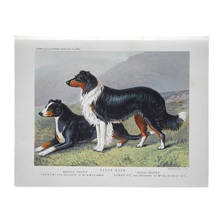 Antique Dog Lithograph - Sheep Dogs