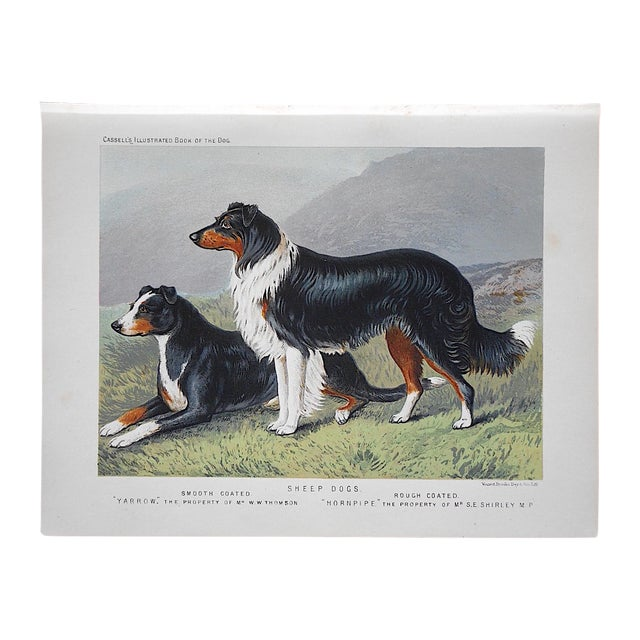 Image of Antique Dog Lithograph - Sheep Dogs
