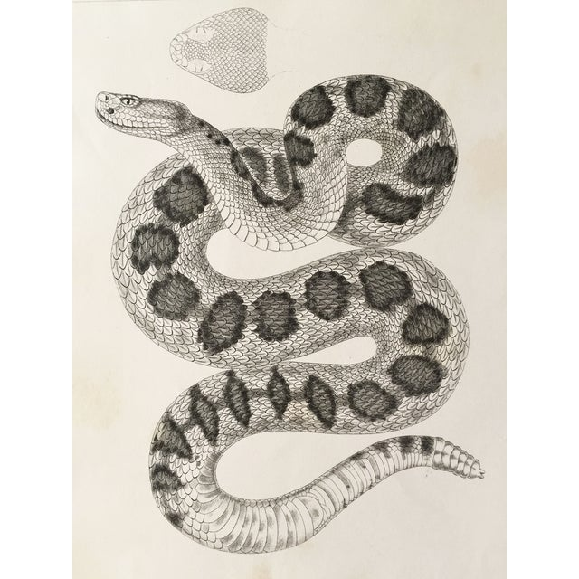 Antique California Rattlesnake Lithograph - Image 1 of 6