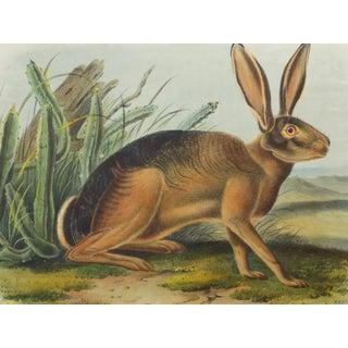 Audubon's California Hare Lithograph