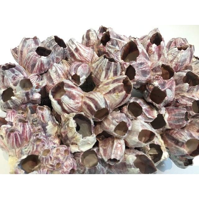 Image of Large Barnacle Cluster Specimen II