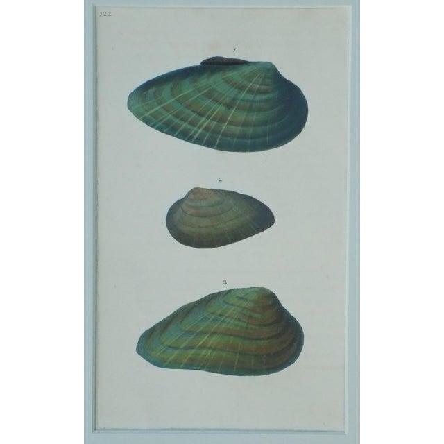 Original Green Mussel Engraving C. 1803 - Image 3 of 4