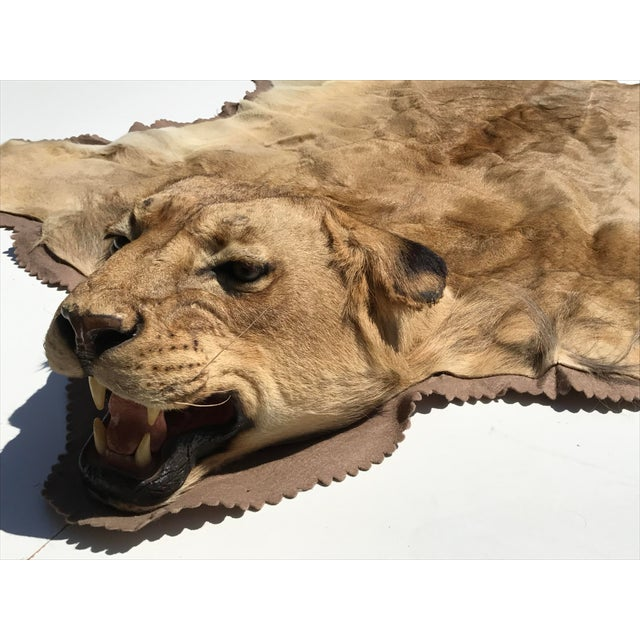 Lion Taxidermy Rug - Image 4 of 10