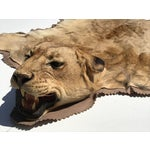 Image of Lion Taxidermy Rug