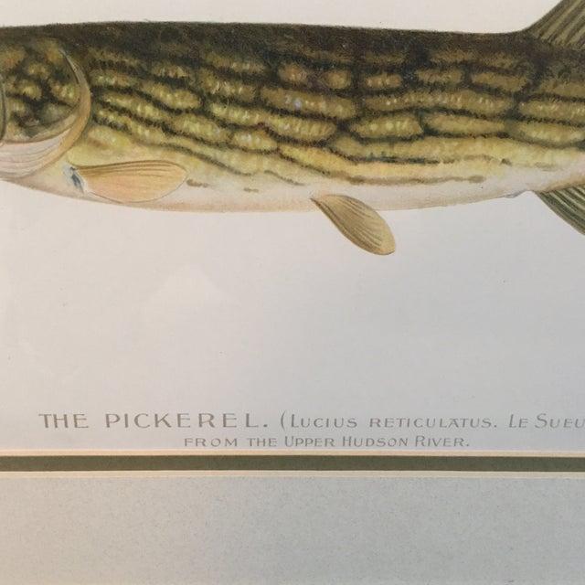 Antique Framed Fish Print - Image 4 of 4