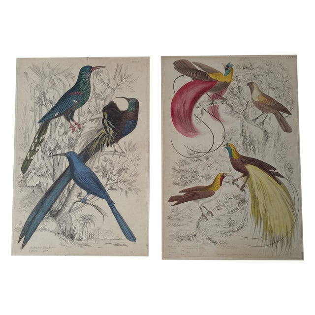 Image of 1850's Bird of Paradise Etching - Pair