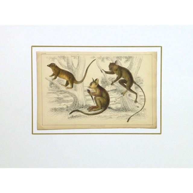 Vintage Monkey Print Engraving, 1853 - Image 4 of 4