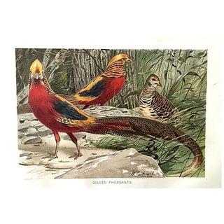 """""""Golden Pheasants"""" Antique Chromolithograph"""