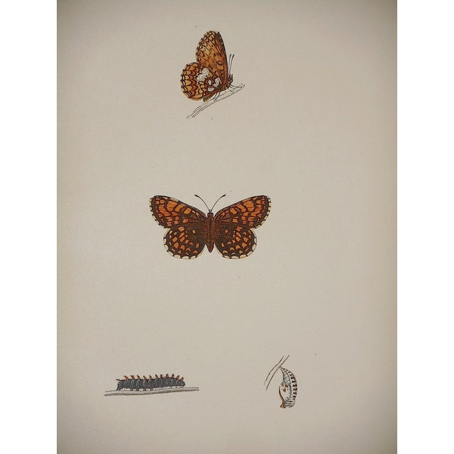 Antique English Butterfly Lithograph - Image 3 of 4