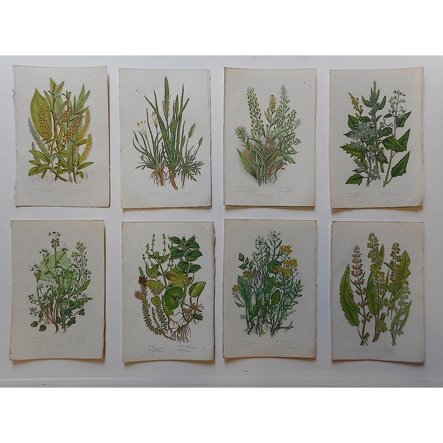 Antique Botanical Lithographs - Set of 8 - Image 3 of 3