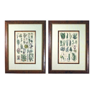 John Parkinson Seventeenth Century Botanical Engravings of Mosses & Ferns