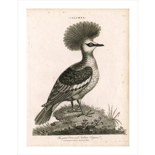 Antique 'Crowned Pigeon' Archival Print