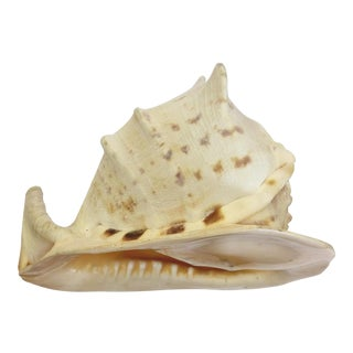Natural King Helmet Conch Shell Specimen