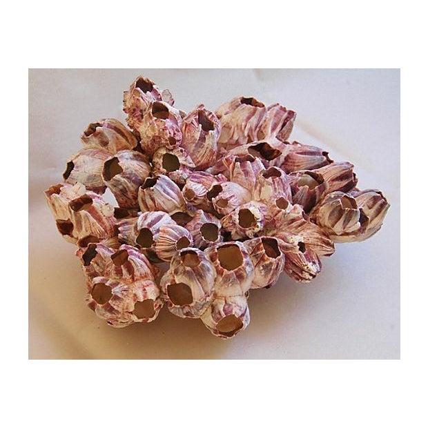 Saltwater Purple/White Barnacle Cluster Specimen - Image 2 of 3