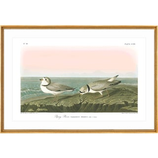 "Soicher Marin Piping Plover Gold Framed Audubon ""Birds of America"" Print"
