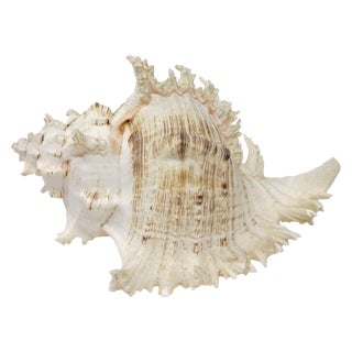 Large Lace Murex Conch Shell