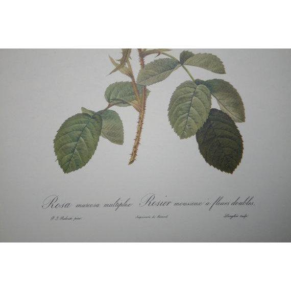 Original Pierre Redouté Botanical Prints - S/3 - Image 7 of 8