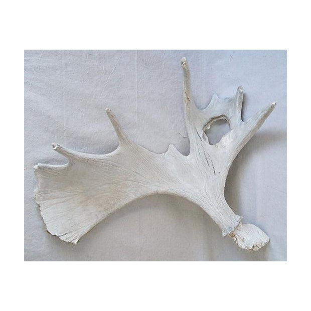 Large Naturally-Shed Moose Antlers - A Pair - Image 4 of 8