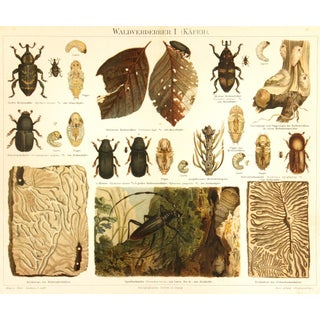 Antique 1894 Beetles Insect Print