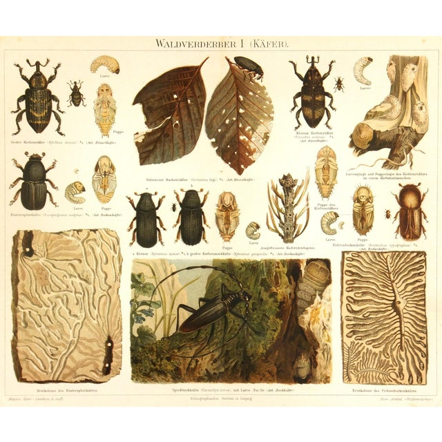 Image of Antique 1894 Beetles Insect Print