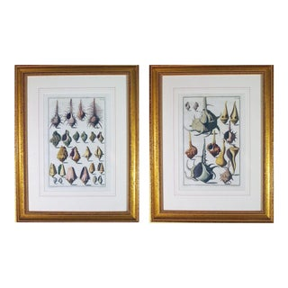 Pair of Niccolò Gualtieri Framed Copperplate Engravings of Sea Shells
