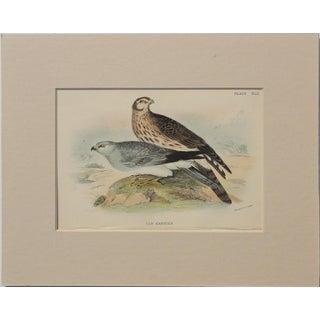 """1890 """"Hen Harrier"""" Original Chromolithograph"""