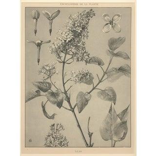 "M. Millard ""Lilacs"" Art Nouveau Botanical Drawing, Circa 1902"