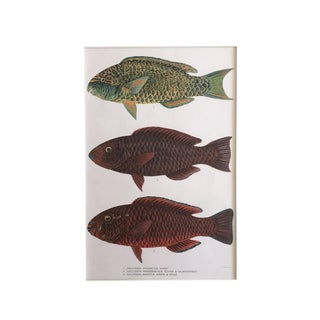 1905 Antique Hawaiian Fish Lithograph