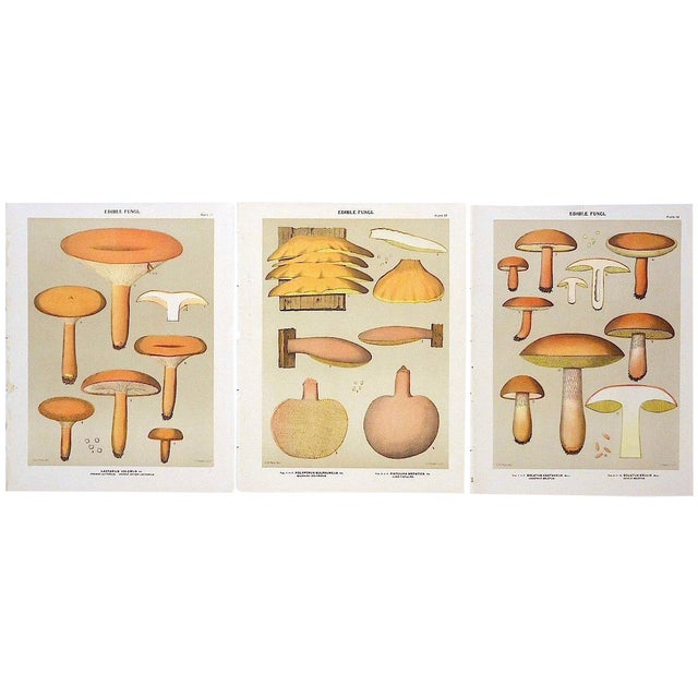 Antique Mushroom Lithograph Prints- Set of 3 - Image 1 of 5
