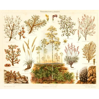 Semi-Arid Plants Antique Lithograph C. 1885