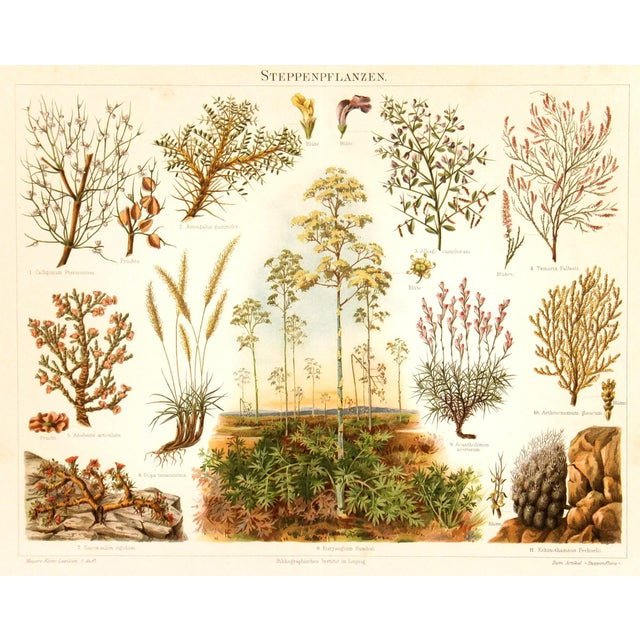 Image of Semi-Arid Plants Antique Lithograph C. 1885