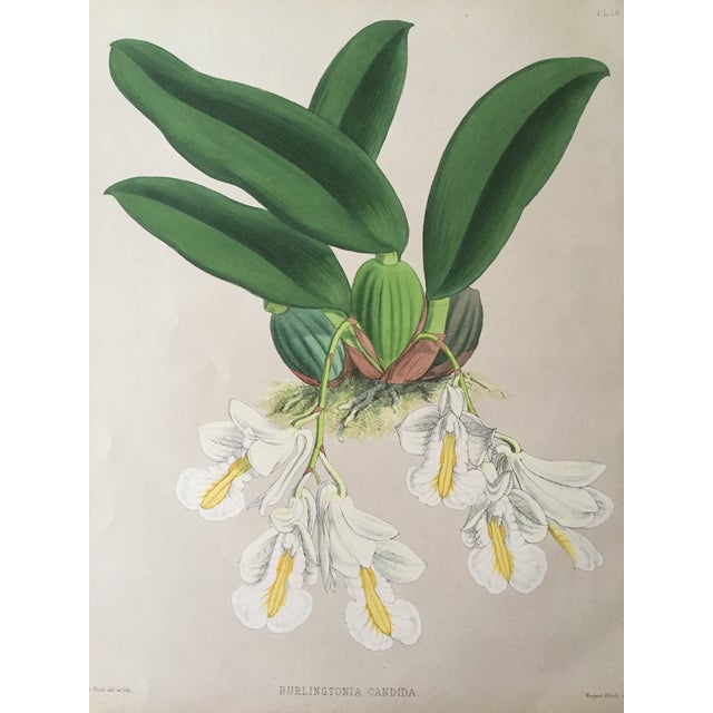 Image of Antique 19th C. Orchid Floral Botanical Lithograph