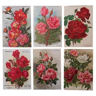 Antique Botanical Rose Lithographs- Set of 6