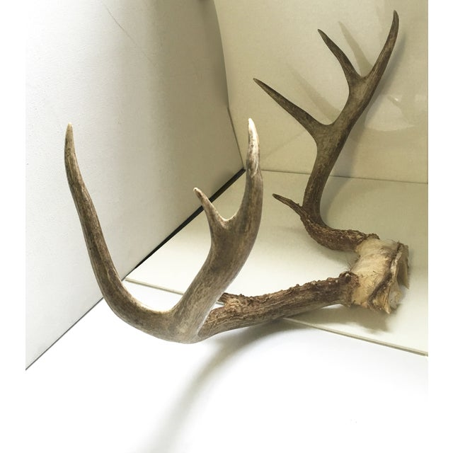 Image of Whitetail Deer Antler Rack