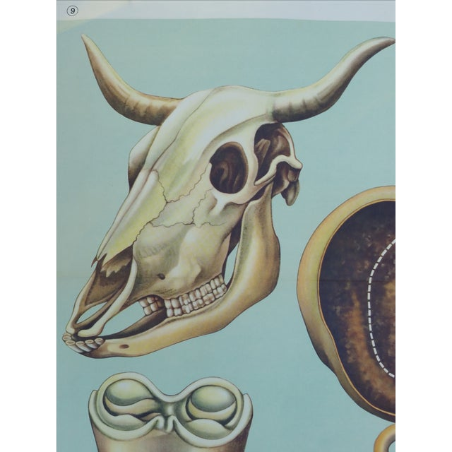 Vintage Anatomy of a Cow Poster - Image 3 of 4