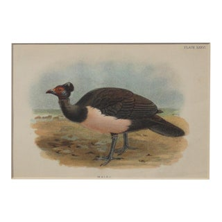 1890 Antique Maleo Chromolithograph
