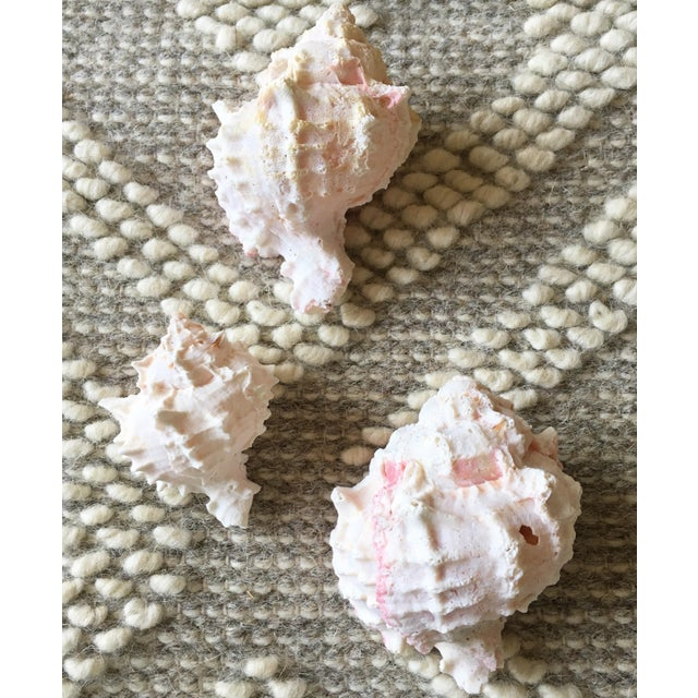 Natural Pink Queen Conch Set/3 Nautical Decor - Image 4 of 9