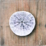 Image of Sand Dollar I Limited Edition Photo Encaustic