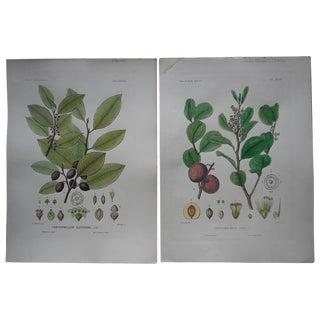 Antique N. American Trees Engravings - a Pair