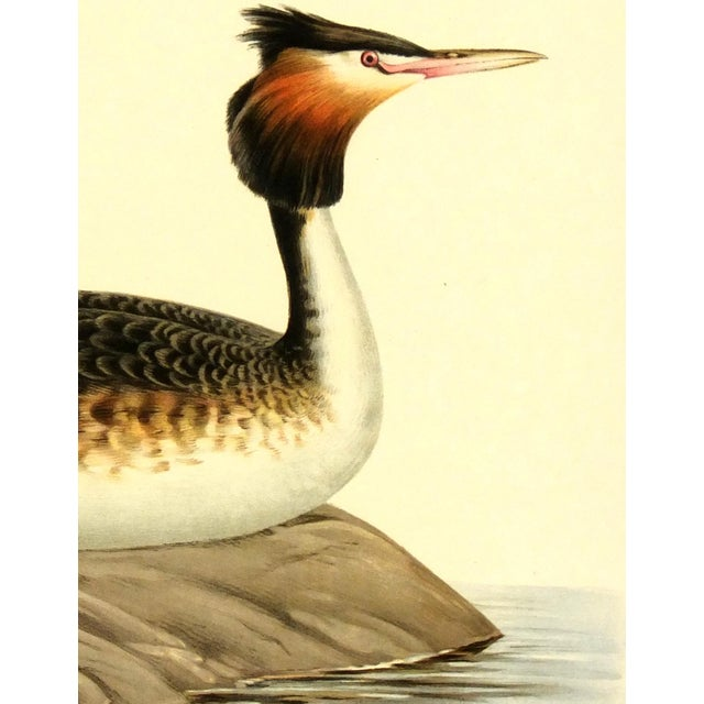 Vintage 1929 Bird Print - Great Crested Grebe - Image 2 of 3