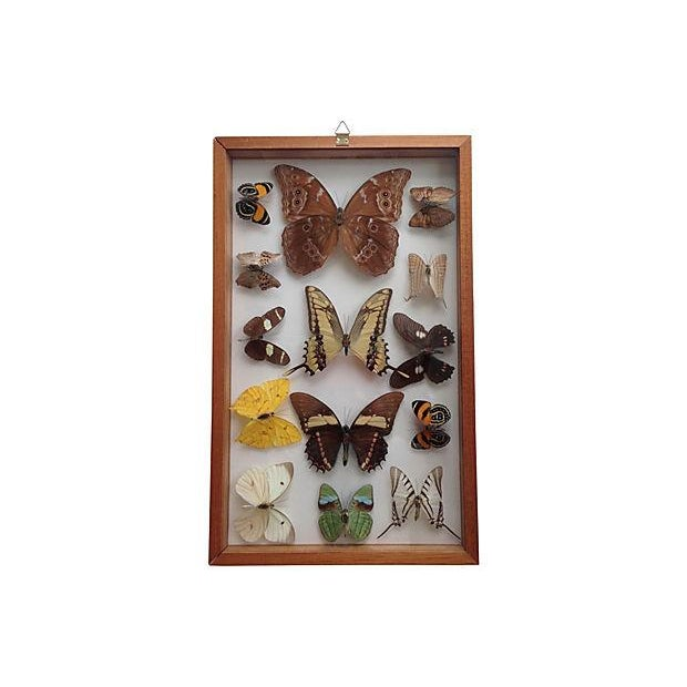 Brazilian Butterfly Collection - Image 5 of 5